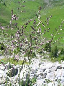 Трава для газона овсяница красная