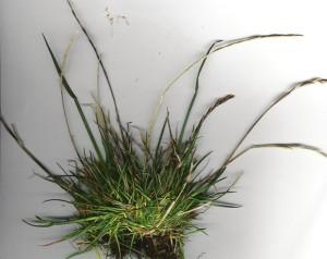Трава для газона райграс пастбищный